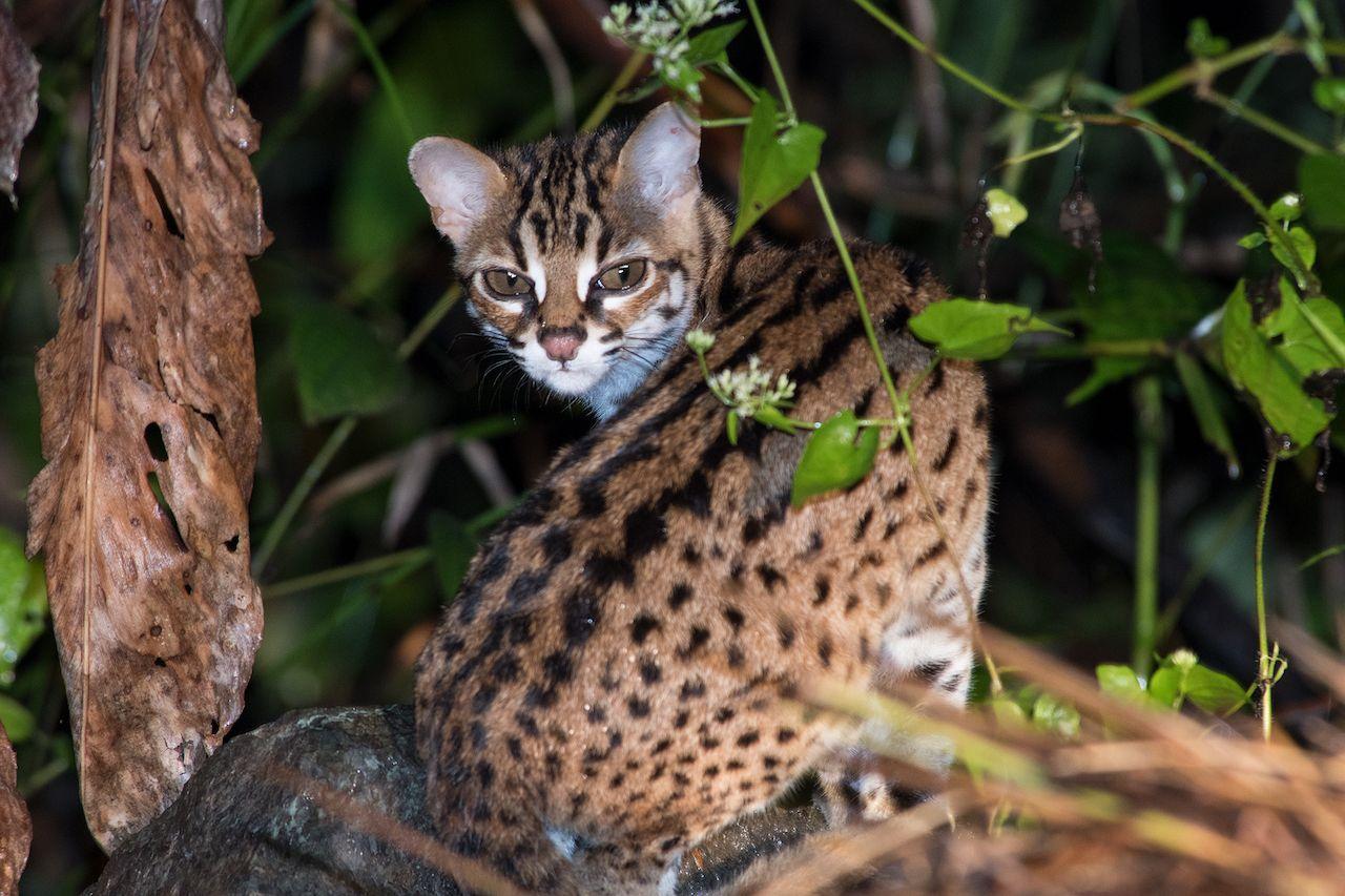 گربه وحشی یا به عبارت دیگه حامله ترین حیوون جنگل