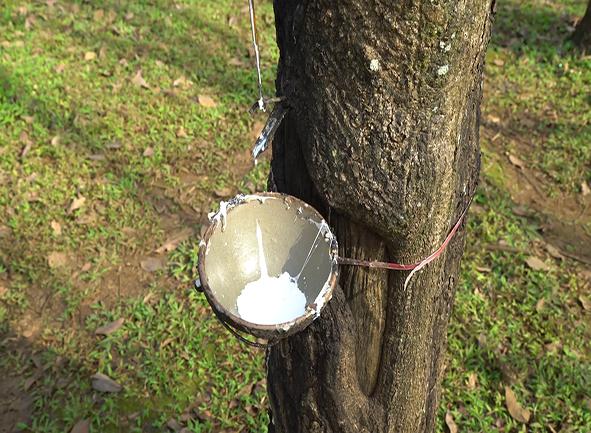 درخت رابر / درخت کائوچو
