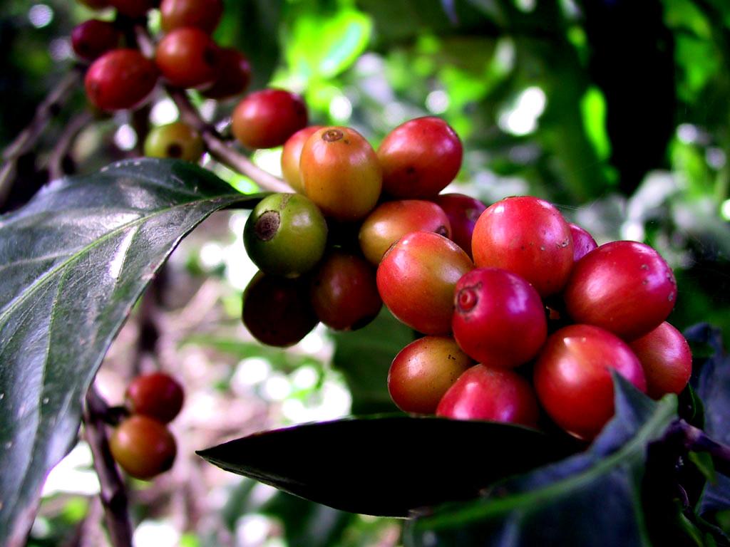 تا شباهت آدمیزاد به قهوه؛ از میوه تا اسپرسو