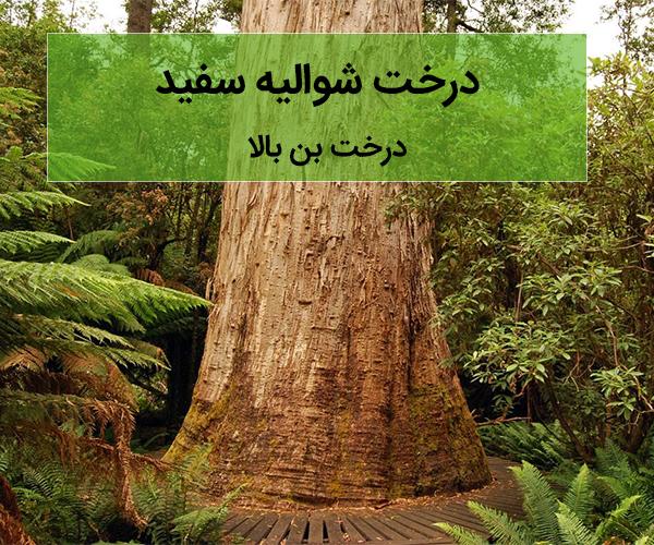 بلند ترین درخت های دنیا و اطلاعاتی در خصوص آنها