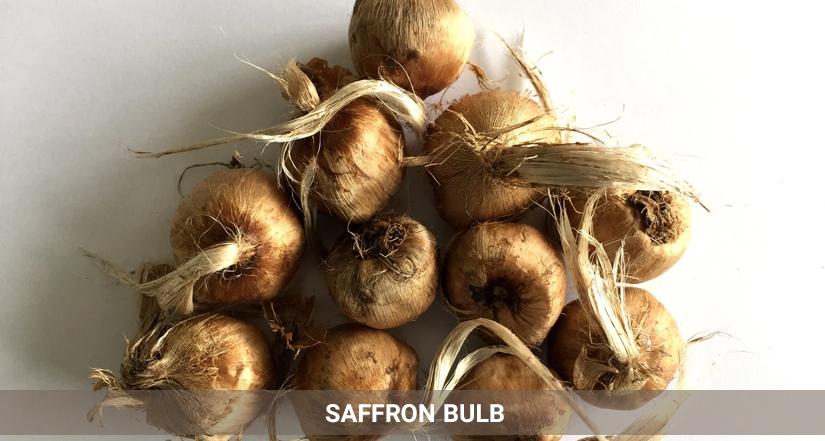 saffron bulb