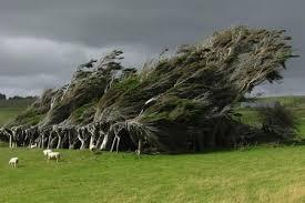 شرایط جوی نیوزلند / درختانی که تعظیم میکنند.