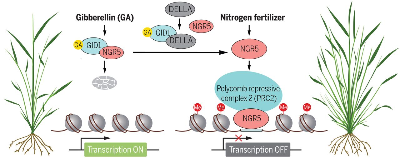 افزایش بازده انقلاب سبز پایدار از طریق تعدیل کروماتین پاسخگو به نیتروژن در برنج