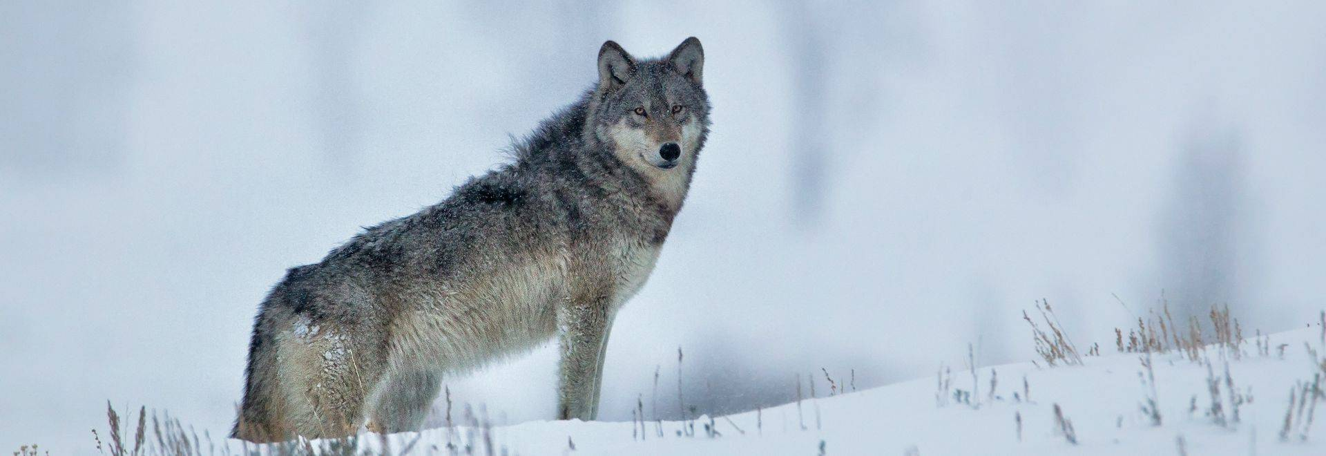 این گرگ زیبا در جنگلی در بلاروس منتظر شماست!