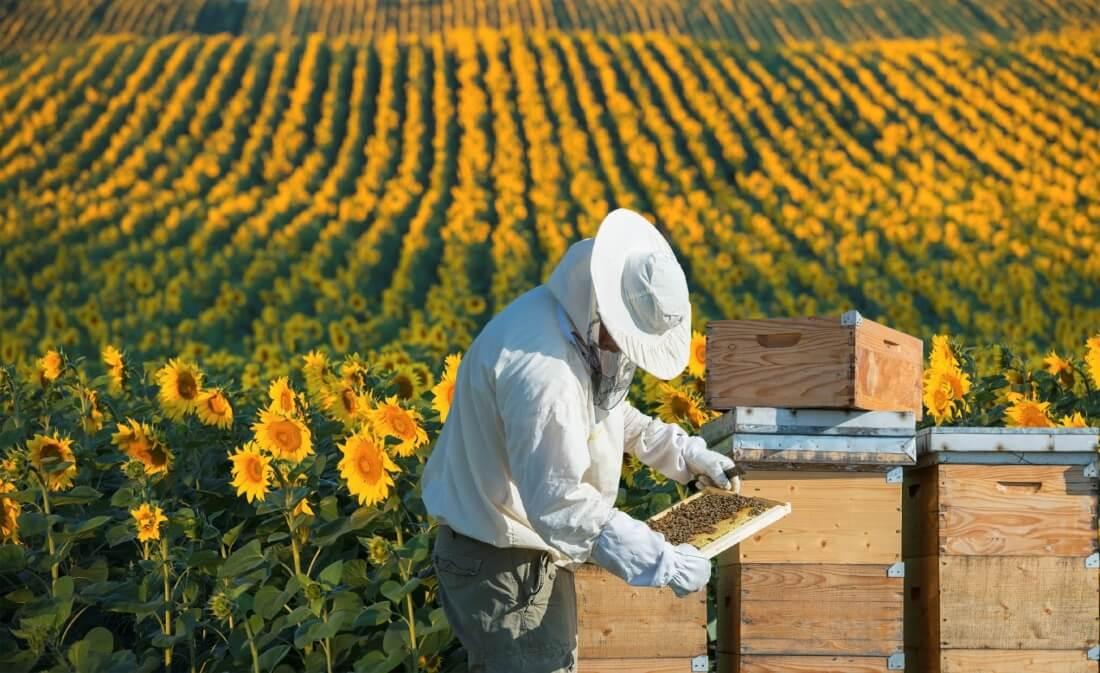 زنبورداری در حال برداشت عسل آفتابگردان