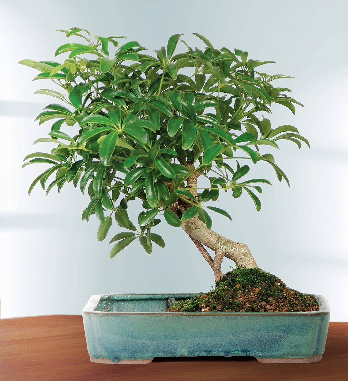 بنسای پنج ساله از گیاه چتر هاوایی
