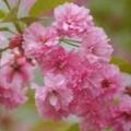 شکوفه های شادی