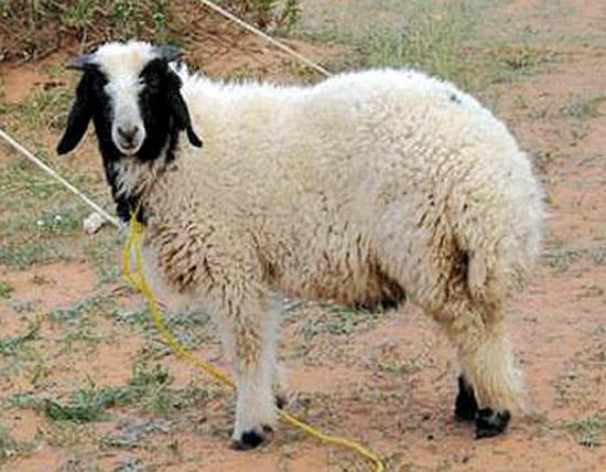من گوسفند نیستم!!
