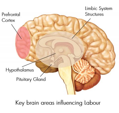 مغز ما چه شکلیه و چه اجزایی داره؟