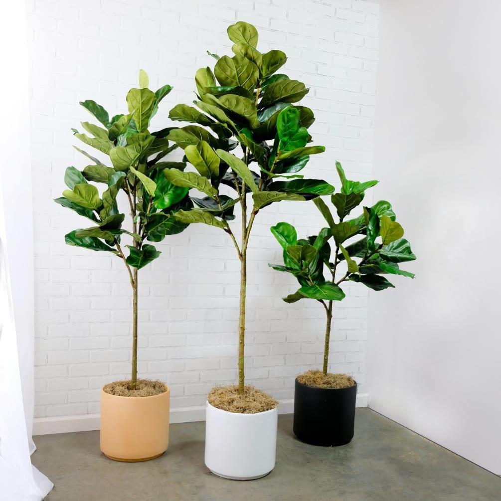 گلدان لیراتا یا انجیر ربابی گیاه آپارتمانی زیبا و پهن برگ