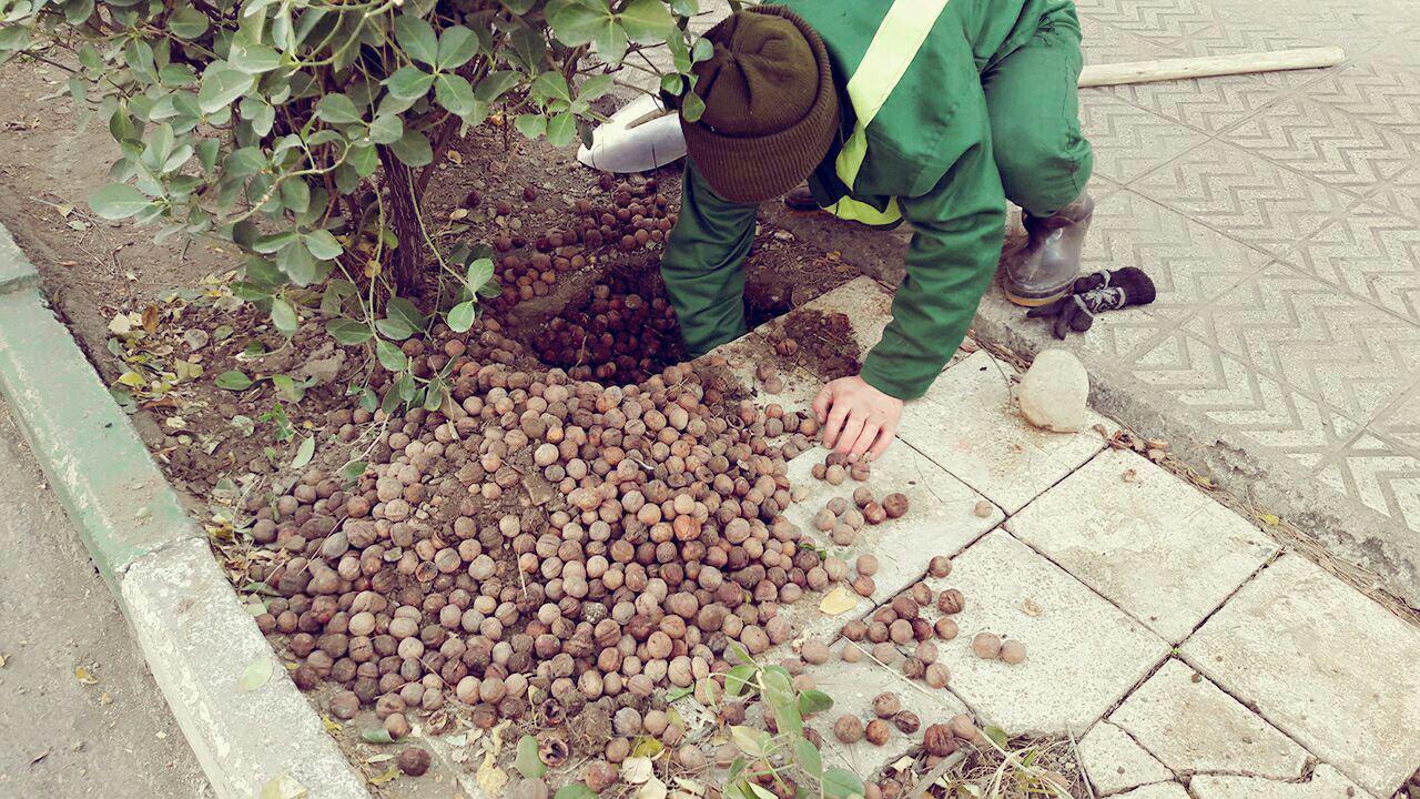 در شرح این عکس نوشته شده بود که موش انباردار این گردوها را پنهان کرده بود