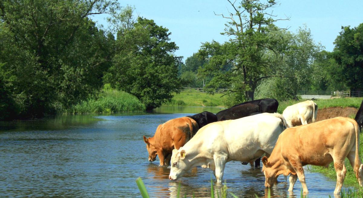 به طور میانگین هر گاو ۲۴۰۰۰ لیتر آب در طی ۳ سال مینوشد.