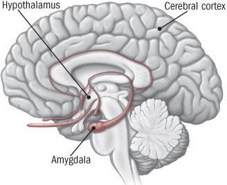 آمیگدالا و هیپوتالاموس