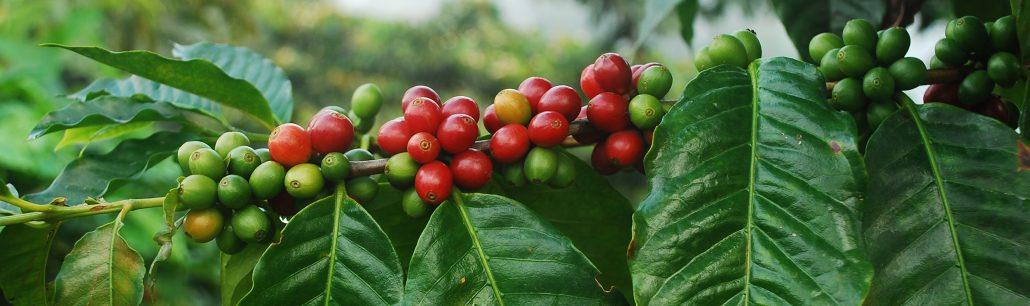 قهوه، از کدام درخت ها به قهوه جوش ما می رسد؟
