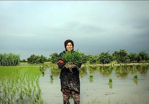 کشاورزی در آیینه آواز محلی مازندران