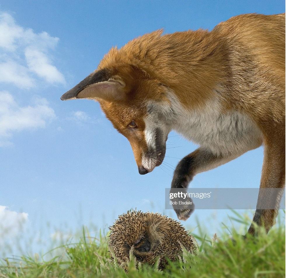 روباه خیلی چیزها را میداند؛ اما خارپشت فقط یک چیز خیلی مهم را میداند!