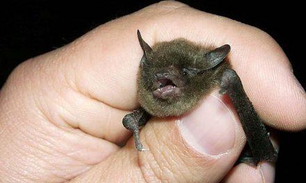 خفاش خون آشام یا خفاش ومپایر(همانطور که می بینید نیم وجب هم نیست!)