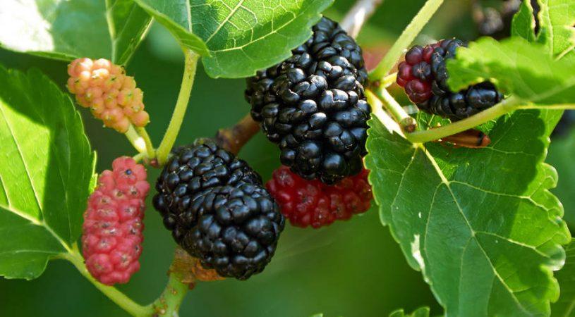 تمام توت ها از یک درخت هستند،ولی میزان رسیده شدن آنها یکسان نیست!