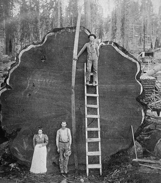 بنگرید که اشرف مخلوقات چگونه درختی به این قطوری را قطع کرده و با سینه ای ستبر و با افتخار در کنارش ایستاده!