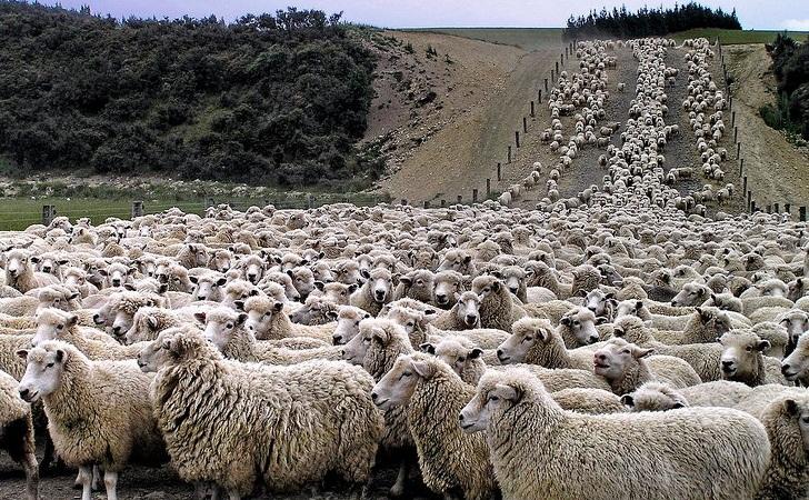 تصویر مربوط به مسابقه گوسفند شماری در استرالیاست