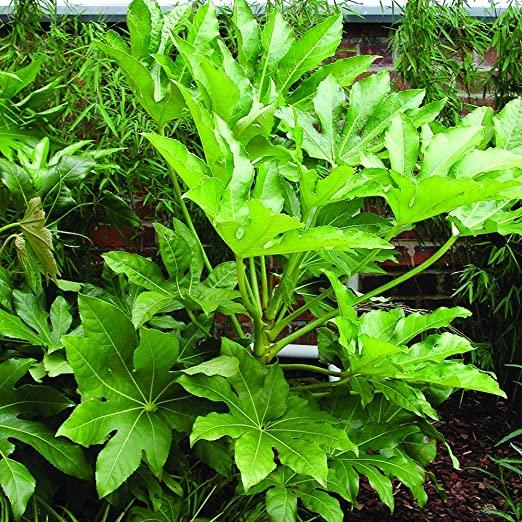 مشاوره تخصصی در زمینه رشد آرالیای برگ پهن ژاپنی - ویرگول
