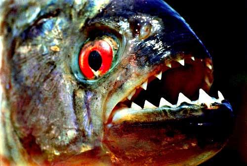 پیرانا، استعاره ایست برای یکی از انواع استراتژی های حمله به پیشرو که به دلیل تشابه رفتاری مهاجم به رفتار ماهی پیرانا، به این نام، خوانده شد.