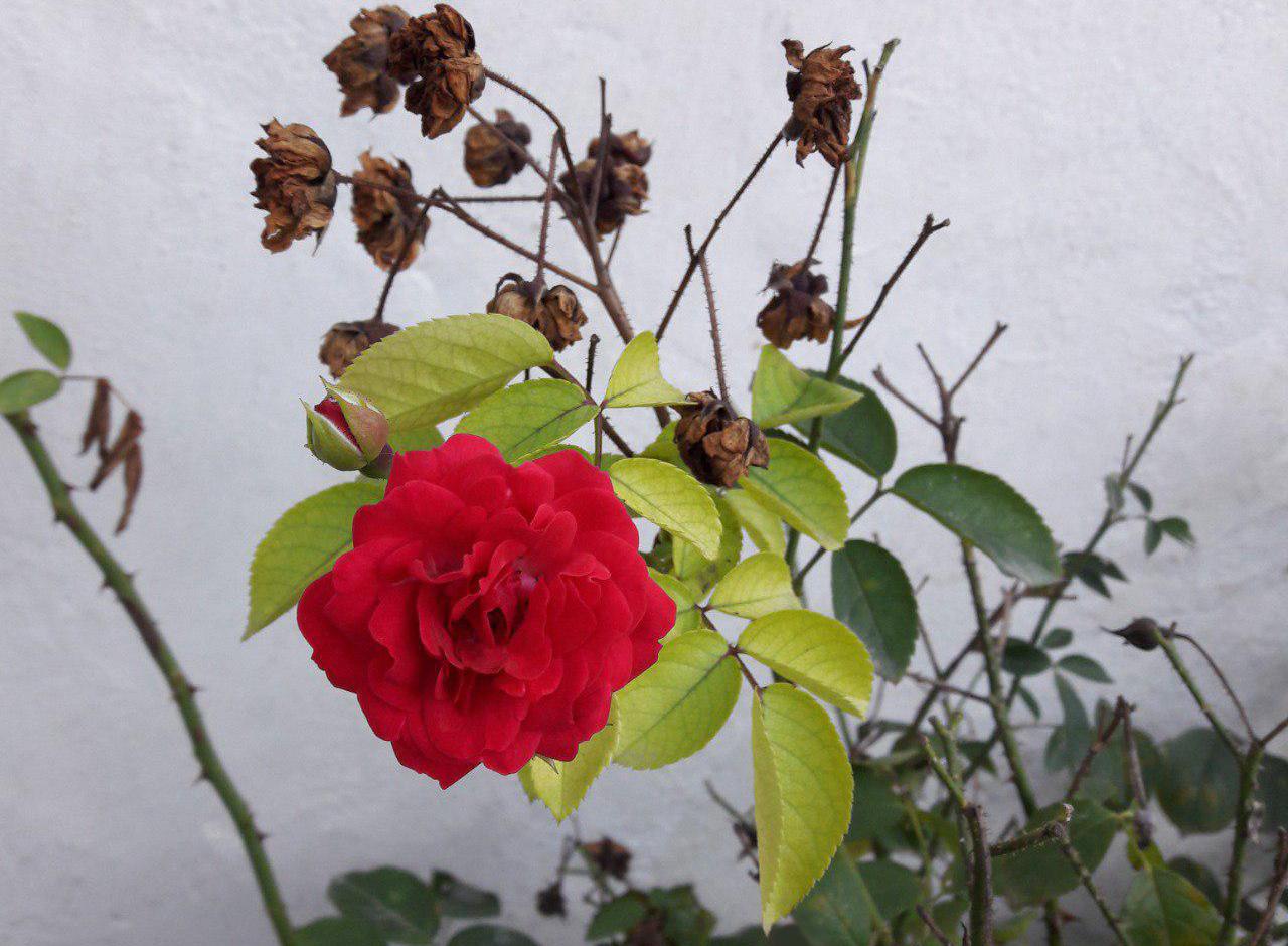 من گلی پژمرده بودم در کنار غنچه ها / گلفروش ای کاش با آنها مرا هم میفروخت..