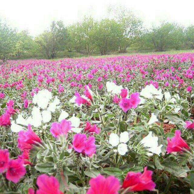 دشتی از گل گاوزبان در اشکور و در کنار پردیس همت زیاز
