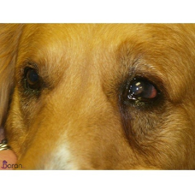 بیماری های چشمی سگ