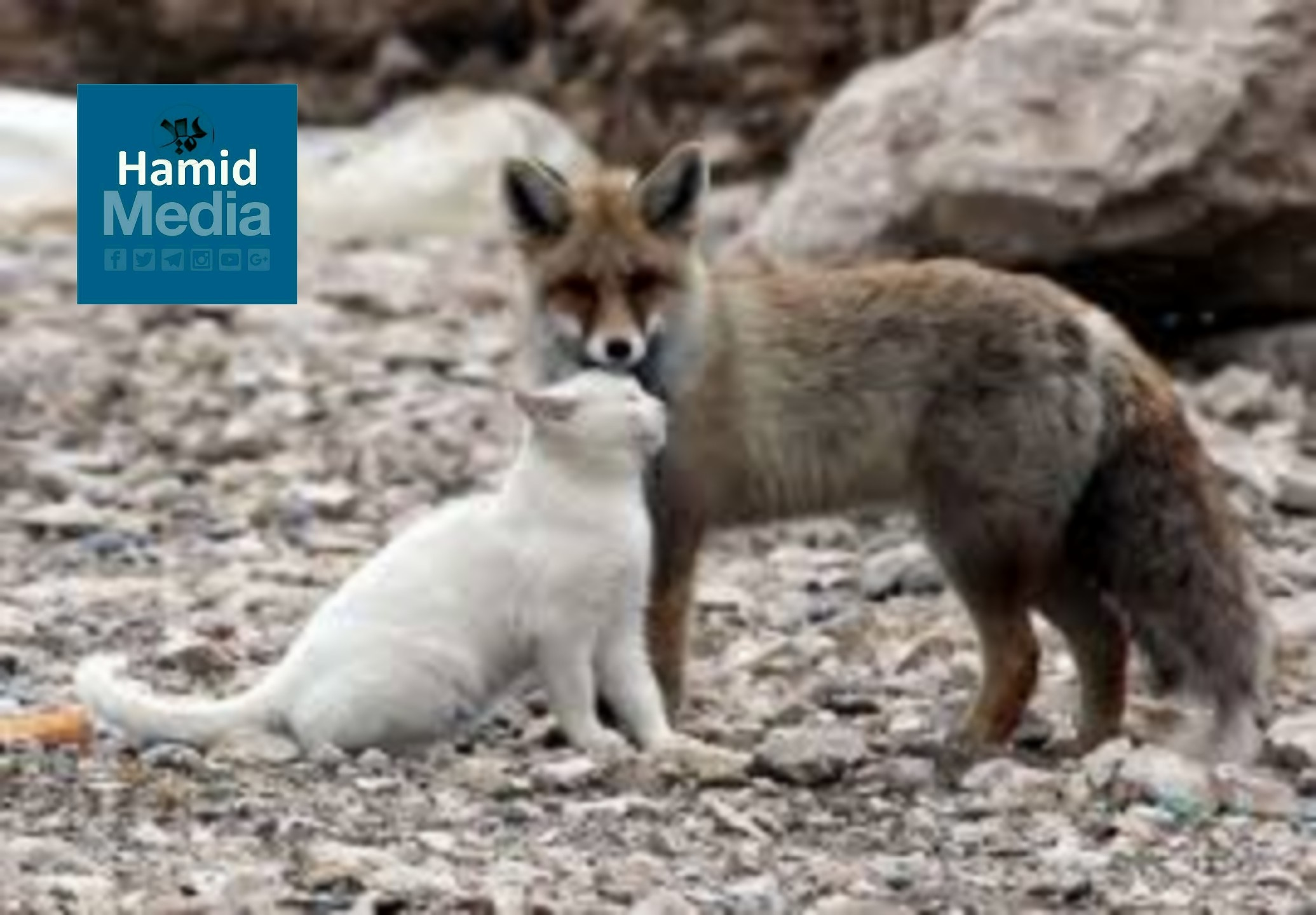 داستان روباه و گربه
