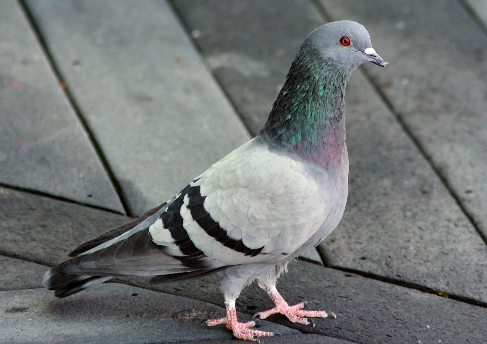 کبوتر بام تو ام
