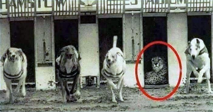 یوزپلنگ در مسابقات سگدوانی