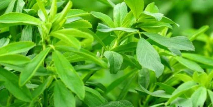 گیاهی معجزه آسا