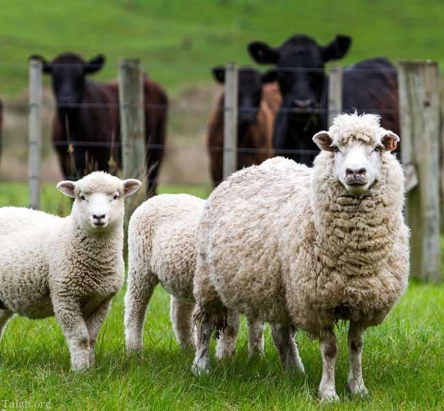 کتاب صوتی و نظریه گوسفند نگری!