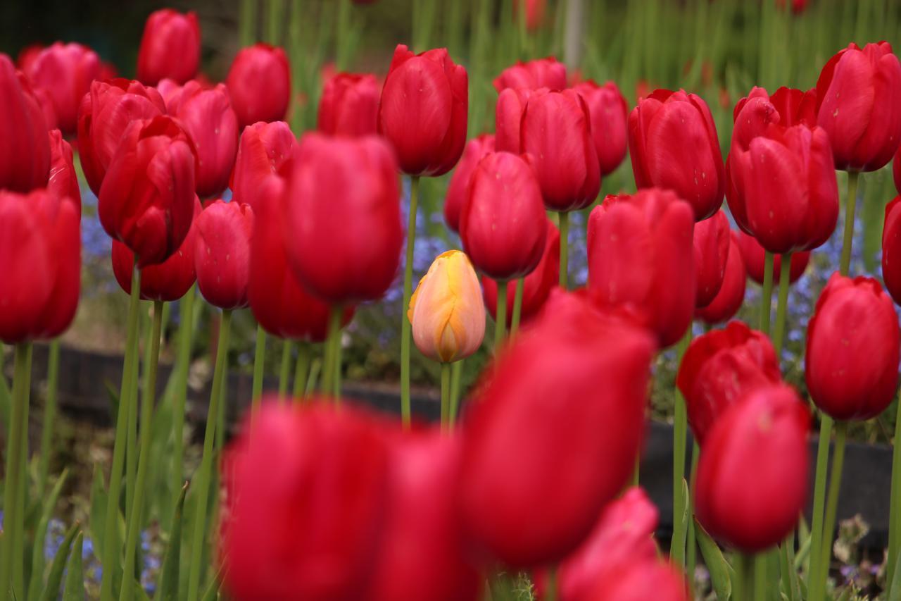 گلهای لاله، باغ الکساندارا، کاردیف