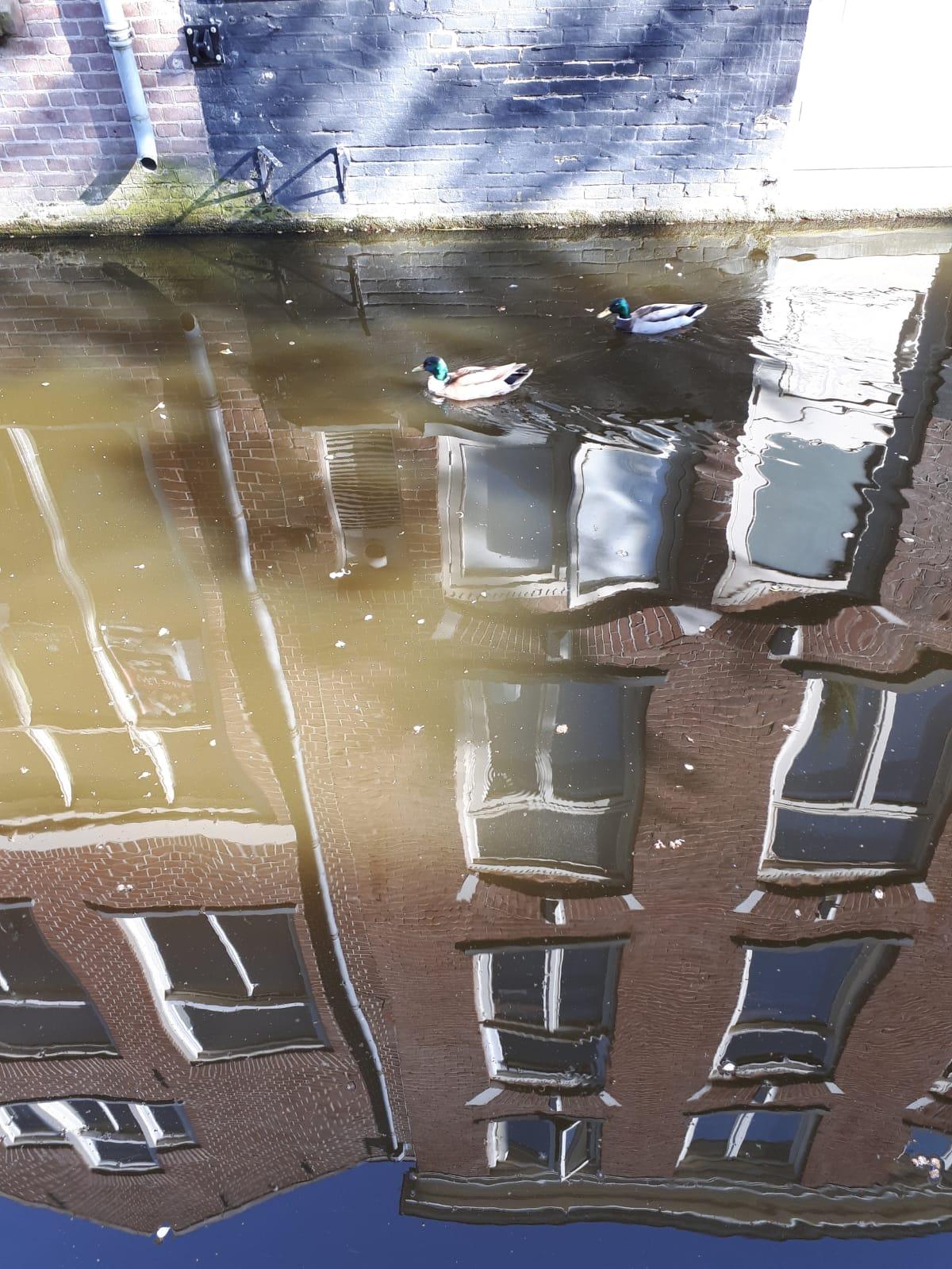 انعکاس زندگی و شنای پرندگان (دلفت، هلند)