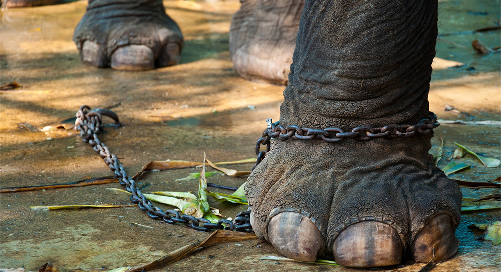 فیل از همه تلاشش برای کندن بند استفاده نمیکند.