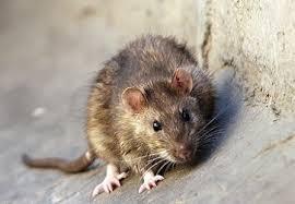 موش های موشخوار