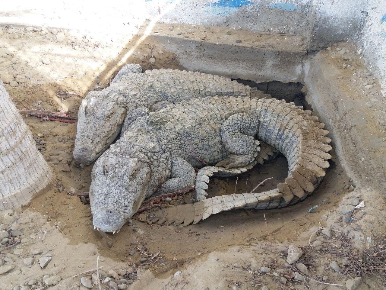 ایستگاه تحقیقاتی ریکوکش، محل پرورش تمساح پوزه کوتاه ایرانی(گاندو)