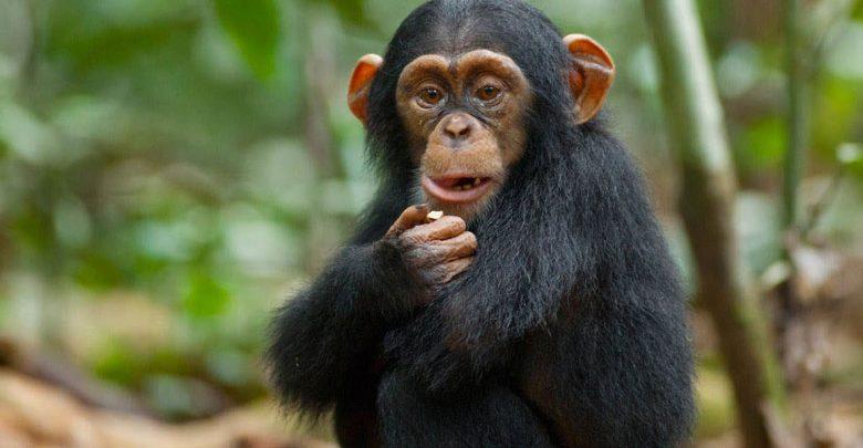 خرافه تکامل جانداران را باور نکنید(شامپانزه، بخش اول)