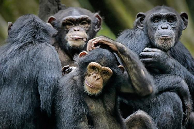 خرافه تکامل جانداران را باور نکنید(شامپانزه، بخش دوم)