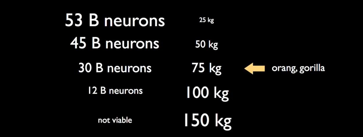 رابطه تعداد نورون ها و وزن حیوان با توجه به نوع تغذیه
