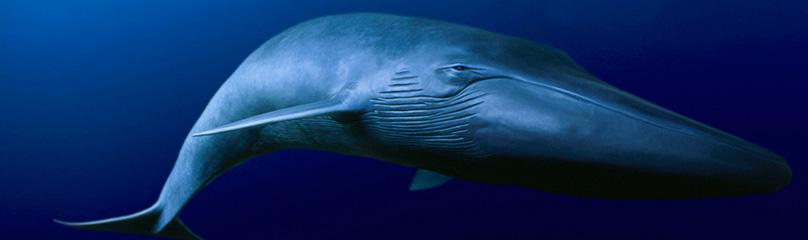 تنهاترین نهنگ دنیا فقط یک قصه نیست