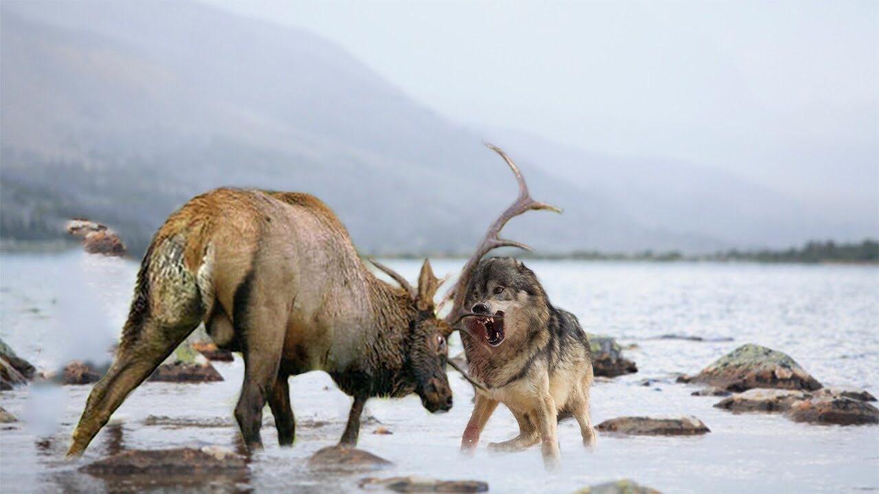گرگها، معماران طبیعت یلواستون